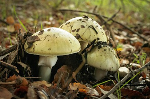 Lovely Damp Weather Makes For Perfect Mushroom Growth In The Wild, But U003cemu003eAmanita