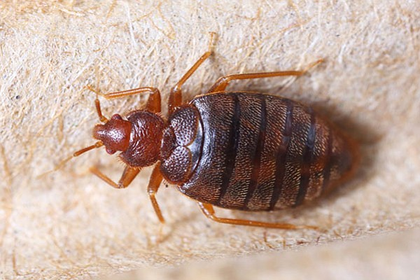 bed bugs on the rise