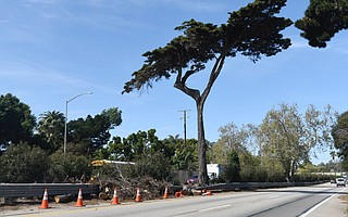 Recent storms took out two of the three iconic cypress trees that stood side by side in the center median of the 101 freeway in Montecito