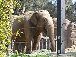 Elephant at the Santa Barbara Zoo