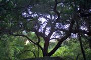 Gnarled oak overlooks Rattlesnake Canyon.
