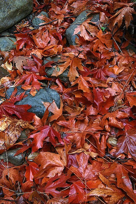 Sycamore leaves begin falling to the canyon floor in late fall and winter rains soften them. The layers built to provide a depth to the canyons not there in other seasons.