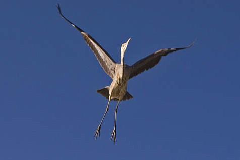 """""""Great Blue Heron 1."""""""