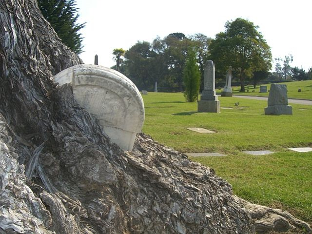 A tombstone gets swallowed by one of the cemetery's trees.