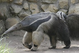 A giant anteater