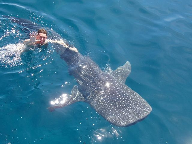 Michael Klein swimming with a whale shark.