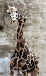 Gemina, the crooked neck giraffe