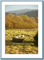 Sheep graze at Clint's