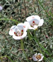 Mariposa lily is among the most beautiful of the thousands of wildflowers we saw.