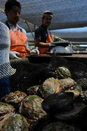 If you're eating abalone these days, it's probably coming from a farm.