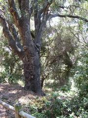 Oak along San Pedro creek.
