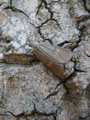 Oak Moth