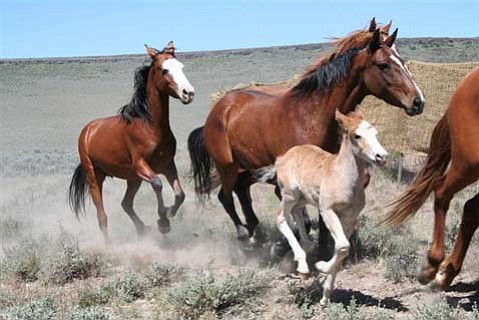 The Plight Of The Wild Mustangs