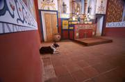 Adela Morris's dog Rhea marks a scent near the Presidio chapel's altar.