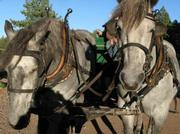 Pair of Percheron-Belgians pull the hay wagon.