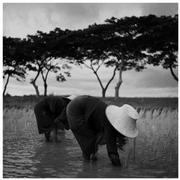 """Planting Rice, Thailand"" (1950)."