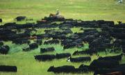 """""""Cattle at the 2 Dot Ranch in Idaho"""" by Jim Keen."""