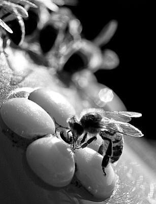 Honeybees in crisis