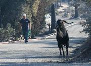 Animal Control Services was called to catch this goat on the loose along Mountain Drive, but it deftly escaped the workers.