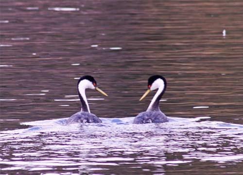 A pair of grebes at Lake Cachuma.