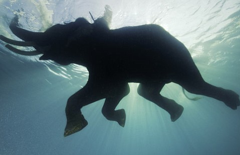 """""""Underwater Elephants"""":  Rajan the Elephant swims with his trainer in the Andaman Islands in India (Dec. 2008)"""