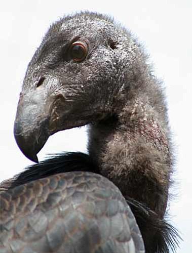 A California condor at the Santa Barbara Zoo.