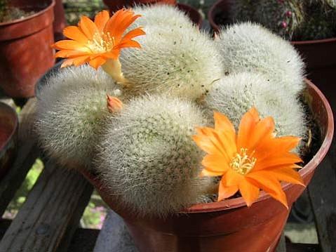 """""""Rebutia Muscula"""" succulent"""