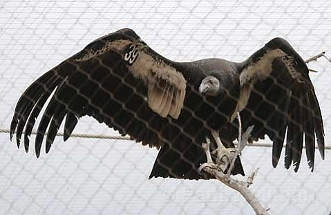 California condors at the Santa Barbara Zoo
