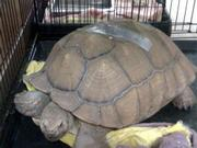 Judy the 83-pound tortoise, waiting out the fire.