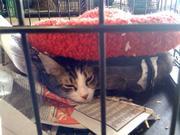 A evacuated cat at the Santa Barbara Humane Society shelter during the Jesusita Fire.