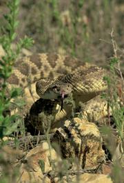 <strong>SNAKES ALIVE:</strong>  Those brave enough to search for rattlesnakes should try the Carrizo Plain National Monument.