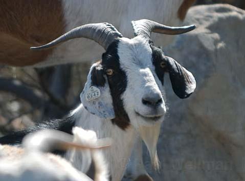Brush Goats 4 Hire