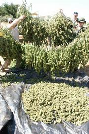 Processed marijuana from an earlier eradication in 2009.