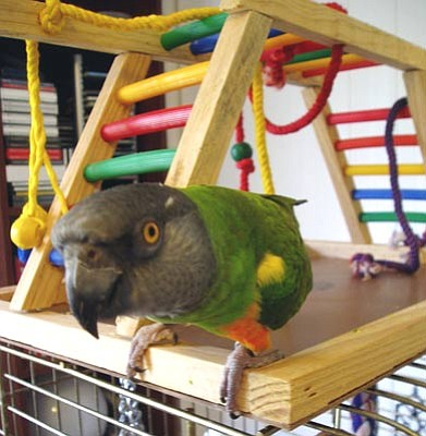 A Senegal parrot, such as Camille, is a less common, but very satisfying companion bird.