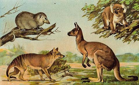 Some commonly recognized marsupials: The Tasmanian wolf (extinct), the Virginia opossum, the kangaroo, and the koala.