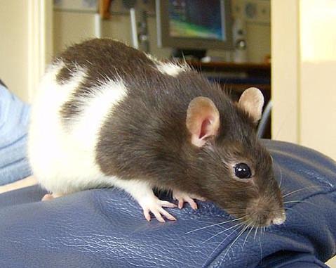 Modern pet rats are descendants of the brown rat (<em>Rattus norvegicus</em>) and make excellent human companions.