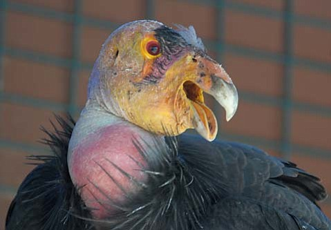 "<strong>Stately scavenger: </strong> The California condor's nine-foot wingspan once soared in the skies of the entire West Coast, until its population dwindled to just 22 birds in 1987. Today, more than 30 years after the recovery program officially was launched to save the endangered species, experts believe that Gymnogyps californianus is poised to succeed now more than ever. Explained program coordinator Jesse Grantham, ""Our charge is to restore the species to a self-sustaining population."""