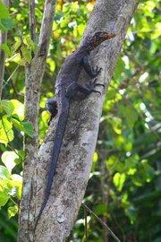 Torch monitor lizard (Varanus obor)
