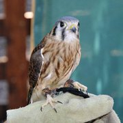 Kachina the American Kestrel