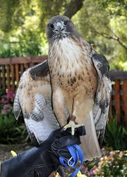 Ivan the Red-Tail Hawk