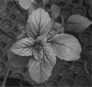 <em>Ocimum basilicum</em>
