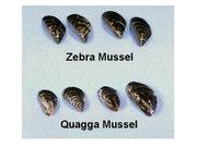 Quagga and Zebra mussels