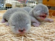 Litter of Asian small-clawed otters born at the S.B. Zoo.