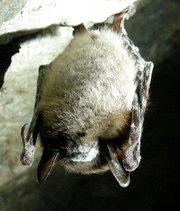 "This little brown bat (<em>Myotis lucifugus</em>) is infected with ""white nose syndrome,"" a fungal disease found in six bat species in the northeastern U.S.  It's thought to have claimed the lives of over one million bats since 2006, and it's spreading."
