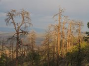 Dead ponderosa pines in the Jemez Mountains at Bandelier National Monument. The research team explained that they died due to drought and probably infestations of bark beetles. This photo was shot in summer 2006.