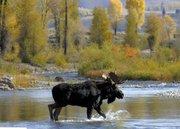 Gros Ventre Moose