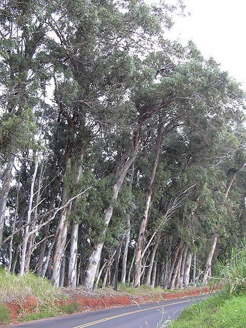 The Blue Gum Em Eucalyptus Globulus Has Become