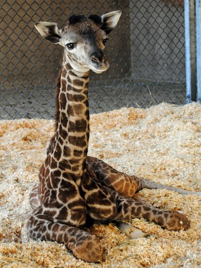 Baby Born At 25 Weeks: S.B. Zoo Giraffe Gives Birth To Surprise Baby