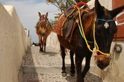 Mules of Santorini