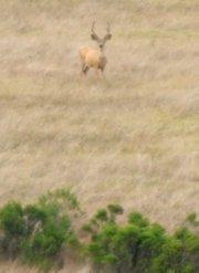 Santa Rosa Island mule deer